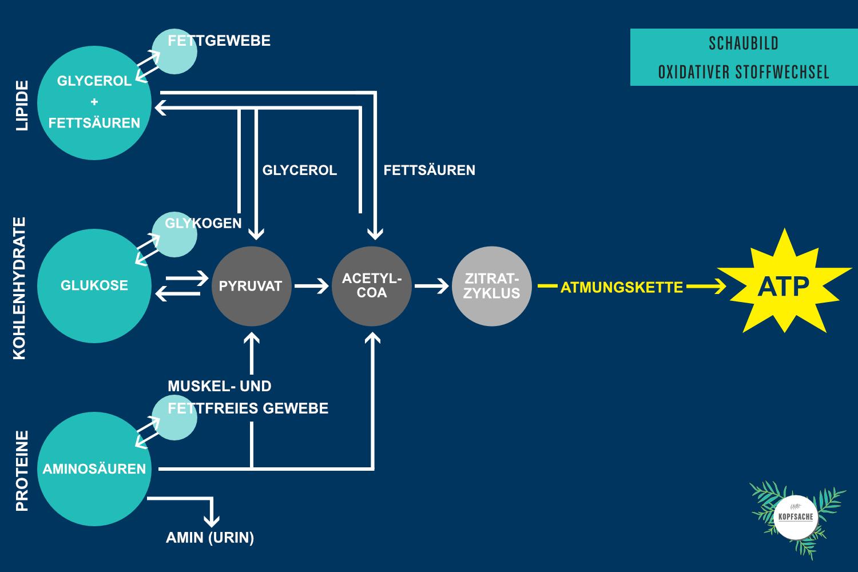 Grafik Oxidativer Stoffwechsel mit dem Produkt ATP