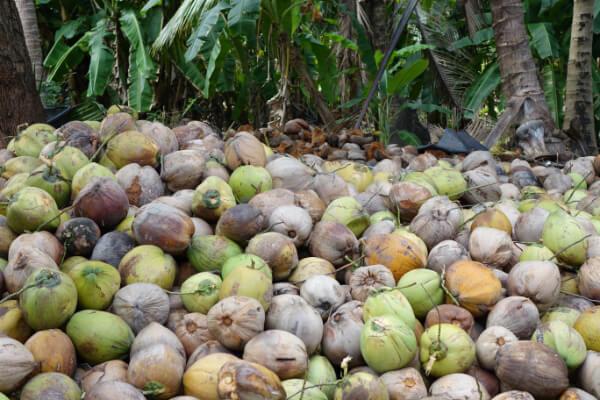 Frisch geerntete Kokosnuesse