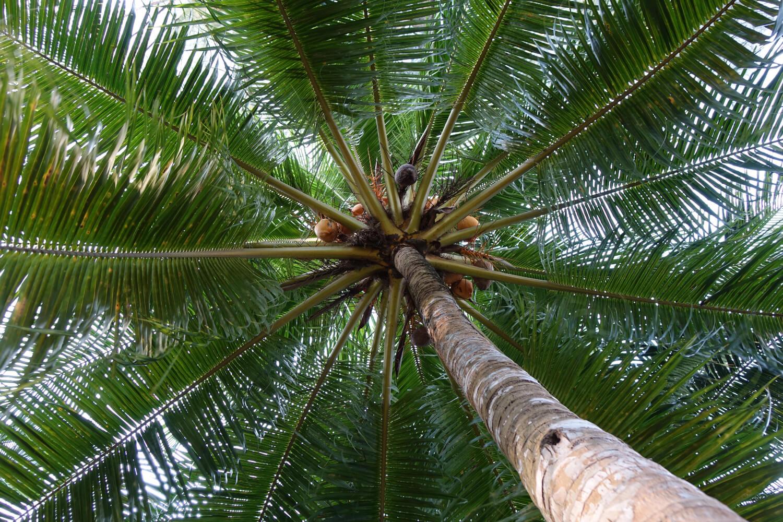 Kokospalme in Singapur - Blick nach oben