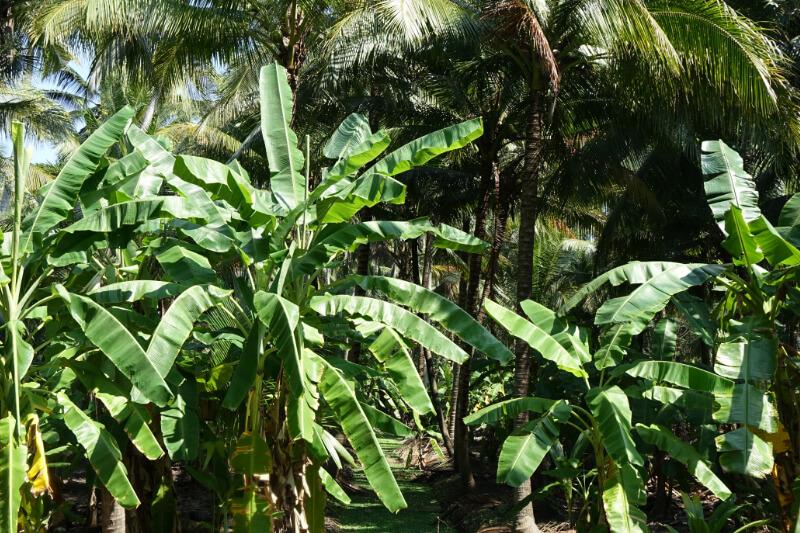 Kokospalmen und Bananen auf einer Plantage in Ratchaburi, Thailand