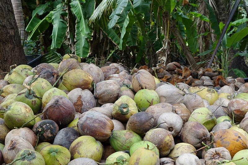 Geerntete reife Kokosnuesse in Ratchaburi, Thailand