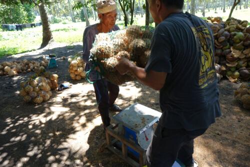 Faires Wiegen der Kokosnuesse bei Abholung fuer faire Preise