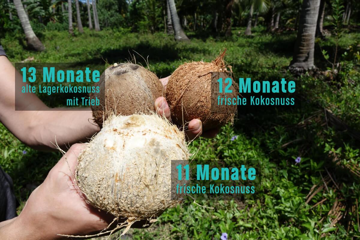 Vergleich frischer bio Kokosnuesse mit herumliegender Kokosnuss: Unterschied in Farbe, Trieb