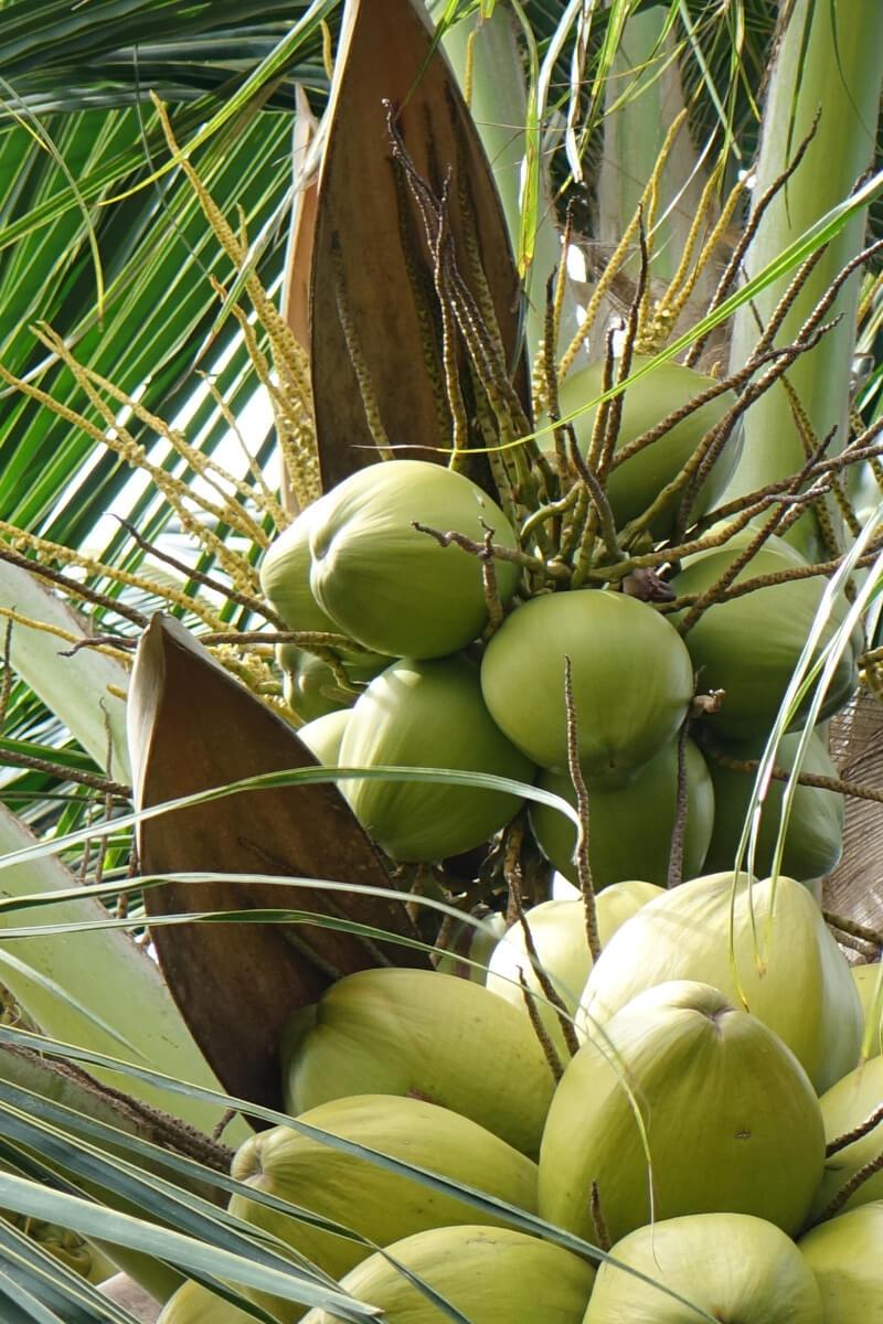 Frische Kokosnuesse noch an der Kokospalme