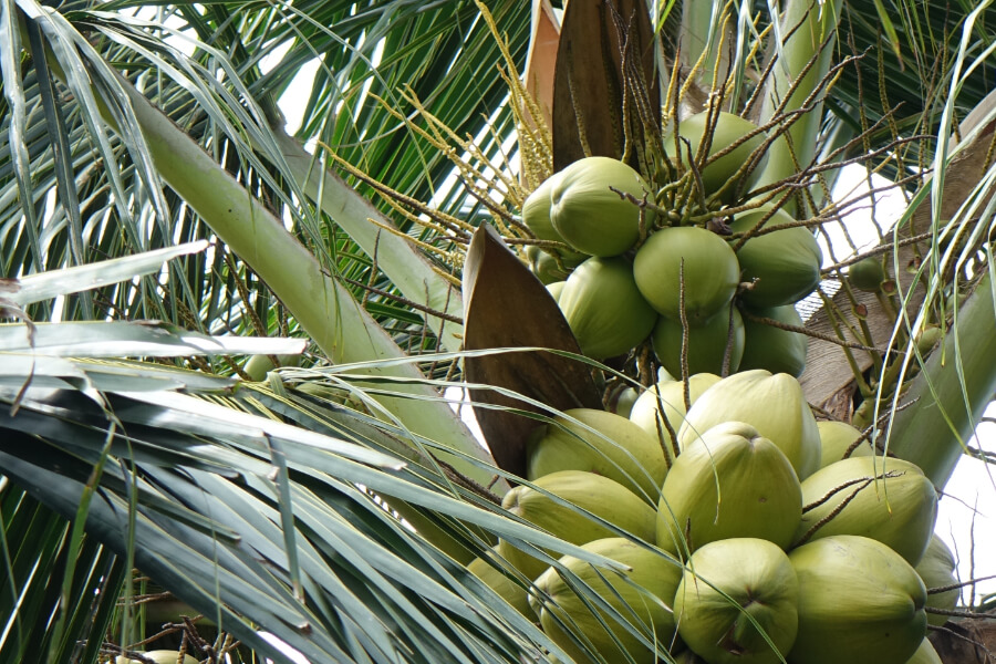 Kokosnuesse an der Palme: die frische Verarbeitung macht einen entscheidenden Unterschied