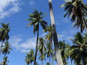 Bio Kokospalmen vor blauem Himmel auf einer philippinischen Plantage